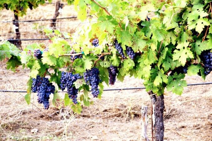 Фото как выращивать виноград